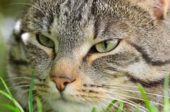 Albert (Marc Arnoud Rogier van der Wiel) Tags: wild pet rascal animal cat naughty mammal outdoor einstein prince monaco predator vicious