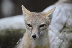 Fox (Rene Mensen) Tags: rotterdam blijdorp nikon rene fox nikkor vos mensen d5100