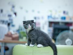 CF000267 (archiwu945) Tags: cat hasselblad 寵物 貓 p45 phaseone cfe2880mm digitalbacks 3900萬像數