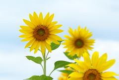 Sunflowers (peaceful-jp-scenery (busy)) Tags: flower garden sony 日本 bandai α listel 福島 inawashiro dslra100 猪苗代 minoltaafmacro100mmf28 リステル
