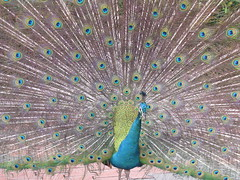 peacock malaysia kualalumpur peafowl klbirdpark kualalumpurbirdpark peacockdisplay walkinaviary tamanburung kllakegardens worldslargestcoveredaviary peacocktailfeathersdisplay