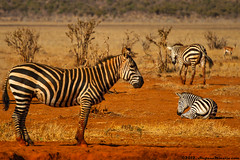 Couchant Plains Zebra (Stefano.Minella) Tags: from park family wild portrait baby animal animals photoshop canon that eos for this is photo kiss holidays looking with post kenya kick shots background year  mother some taken son run pregnant days here went east safari most where national 7d lions zebra learning l production they how teaching usm plains kicking ef f4 spent couchant 41 tsavo 2012 stefano zebras lightroom 70200mm the minella cs6 fondlings