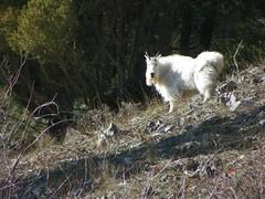 Anglų lietuvių žodynas. Žodis billy-goat reiškia n ožys lietuviškai.