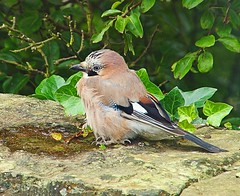 Juvenile Jay (Oldt1mer - Keith) Tags: blue eye garden colours jay close sony birding feathers drinking juvenile garrulusglandarius thegalaxy a65 mygearandme mygearandmepremium mygearandmebronze mygearandmesilver mygearandmegold juvenilejay sonya65 slta65