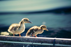 Ducklings (generalstussner) Tags: blue cute nature water canon duck little bokeh wildlife small ducklings 135mm ef135f2l 5d3 5dmarkiii magicprime