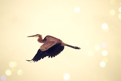 Free as a Bird II (echoroo) Tags: bird beach heron isaac dailynaturetnc12