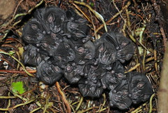 Bats (Oliver J Davis Photography (ollygringo)) Tags: world travel nature island volcano nikon wildlife nicaragua volcanic isla bats centralamerica 2012 ometepe volcan maderas centroamerica lakenicaragua d90 lagodenicaragua cocibolca nikond90