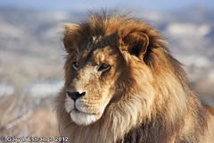 Lazarus the Lion (garylestrangephotography) Tags: arizona canon eos lion bigcat safaripark outofafrica lazarus campverde kingofthejungle junglesafari garylestrangephotography