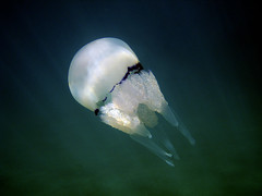 A miracle named Earth (Lumase) Tags: sea nature water swimming swim jellyfish underwater liguria sealife snorkeling marinelife seafloor supershot rhizostomapulmo