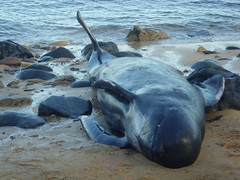 Pilot Whale at Ainster (Jacqui Herrington:) Tags: dead fife whales mammals stranded pilot anstruther pittenweem