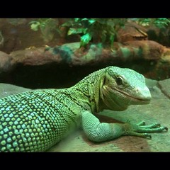 Day 3 - Green Tree Monitor (akhenatenator) Tags: worth1000 vivarium liveanimals