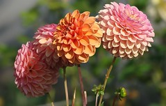 Dahlias pompon (mamietherese1) Tags: dahlias bej fantasticnature yourbestoftoday thebestofmimamorsgroups imagicland theoriginalgoldseal flowerthequietbeauty onlythebestofflickr