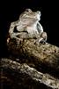 Fatty on Deadwood (Jelly Brain) Tags: frog hylaversicolor graytreefrog k100d