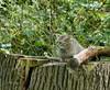 Kitten European Wild Cat (joeke pieters) Tags: germany deutschland zoo kitten wildcat tierpark duitsland dierentuin wildlifepark anholt wildekat anholterschweiz 1000803 biotopwildpark panasonicdmcfz150