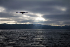 Dawn Rays (LifeLover4) Tags: bird sunrise fishing king seagull gull salmon chinook marinheadlands daw circularpolarizer ggnra 550d efs1755mmf28isusm t2i crepusculars lifelover4 stickneydesign