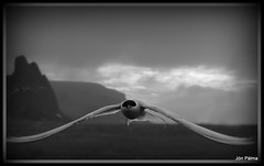 "Sterna (Jón Pálma) Tags: travel sky bw black detail bird art nature beautiful fly photo iceland amazing interesting fantastic artwork perfect moments niceshot different image good quality gorgeous magic great wing picture olympus explore photograph stunning excellent buy capture 1001nights zuiko brilliant exciting masterpiece jón akureyri evolt kría inspring sterna e510 travelphotos paradisaea thegalaxy sölu outstandingshots kaupa visiticeland ""flickraward"" bestcapturesaoi jonpalma ""flickraward5"" rememberthatmomentlevel1 rememberthatmomentlevel2 rememberthatmomentlevel3"