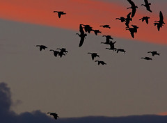 A Gaggle (Explore) (Ohsobjork) Tags: sunset geese birdsinflight brandonmarsh