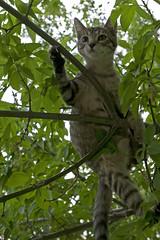 Lola, Tree-3 (1530) (VFR Rider) Tags: cats digital cat canon kitten kittens tabbycat eos1ds tabbykitten