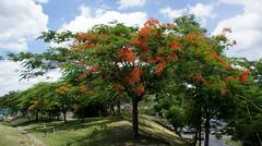 FLAMBOYAN, PUERTO RICO, 2012 (raniel1963) Tags: puertorico pr isla boricua puertorican 2012 caribe flamboyan isladelencanto borinquen puertoriqueno