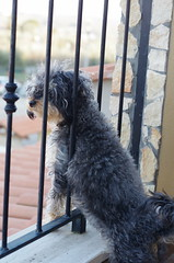 IMGP7524 (m@s71) Tags: dog cane yorkshire terrier animale barboncino animaledomestico meticcio amicodelluomo