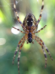 """Garden Cross Spider(1) • <a style=""""font-size:0.8em;"""" href=""""http://www.flickr.com/photos/57024565@N00/7988200598/"""" target=""""_blank"""">View on Flickr</a>"""