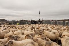 sheep round up (Fjola Dogg) Tags: autumn fall nature canon islandia pad haust nttra rttir 2012 50d hrunamannahreppur canon50d md hrunarttir sheepgathering fjoladogg rttardagur fjladgg