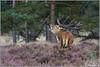 Burlen (Wim Boon (wimzilver)) Tags: 7d reddeer veluwe hert hogeveluwe matingseason cervuselaphus edelhert nationalparkdehogeveluwe burlen wimzilver bronst canon300mmf4lis14ex hertenbronst2012