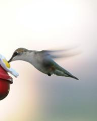 humming bird 197 (John Rothwell) Tags: summer flower bird nature birds yard butterfly hummingbird indiana humming wabash