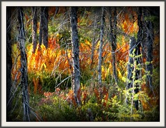 Flames!! Run for your life EXPLORE #207 (clickclique) Tags: trees friends red orange color grey flames explore williamstown swamp backlit ferns miramichi deadtrees baiedeschaleurs almostfall travelpilgrems
