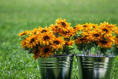 Pail of Sunshine (icemanphotos) Tags: flowers blue summer food sunlight plant flower color colour green art cooking nature colors beautiful field yellow closeup composition garden botanical amazing cool fantastic focus mood dof purple blossom bokeh gardening steel space
