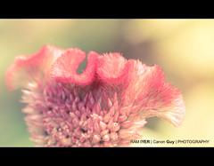 Honey.... (Ram Iyer Photography) Tags: world travel sunlight india flower macro nature closeup garden colorful asia flickr details canonguy megashot 500pix ramiyer