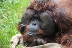 002 - Male Orangutan (jaden_alexander) Tags: seattle washington woodlandparkzoo canonxsi 082912