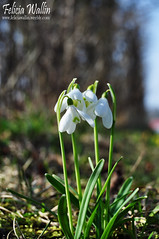 (Felicia Wallin) Tags: winter cold cute beautiful kyla vinter east fina snowdrops hst vackra sndroppar
