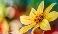 the sun in the garden (frederic.gombert) Tags: flower flowers light yellow color colors colorful green orange red garden plant summer spring macro macrodreams nikon d810