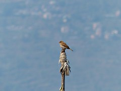 sparrow on a flag pole - high in this Himalayan township (PsJeremy) Tags: nepal bird bluesky sparrow gorkhali