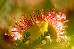 2016-07-16Toine8308 (Morvan Photo Nature) Tags: morvan flore tourbire drosra coeurdumorvan