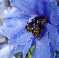 Summer blues (gomosh2) Tags: blueflower delphinium