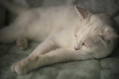 My Cat / Sony 7RII  Summilux 50mm F1.4 (mokuu) Tags: cat snooze notleicamcamera