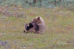 sometimes you just gotta have fun_IMG_4531 (bud_marschner) Tags: denalinationalpark brownbear grizzlybear alaska