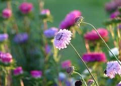 Another flower meadow - meadow flower (Fotokunst Susanne) Tags: meadow flower flowermeadow meadowflower blumenwiese wiese bunt colorful