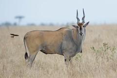 Eland with Incoming Oxpecker (Kitty Kono) Tags: eland oxpecker masaimara kenya kittyrileykono
