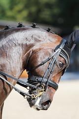 IMG_7566 (dreiwn) Tags: dressage dressur dressuur pferd reitturnier turnierreiten pferdesport horse horseback horseriding equestrian reitverein dressurprfung kandare doublebridle reiten pferde reitplatz ridingarena