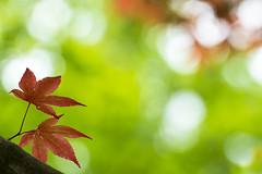 Two orange leaves (Jan van der Wolf) Tags: map15637 dof depthoffield denhaag scherptediepte leaves blad bladeren japanesegarden japensetuin nature natuur branch tree tak boom tuin park