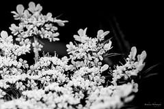 Flower in Black & White. (Bouhsina Photography) Tags: macromondays macro mondays hmm flowerinblackwhite bw noirblanc plante fleur canon 5diii ef100mm bouhsina bouhsinaphotogrphy maroc morocco wild sauvage