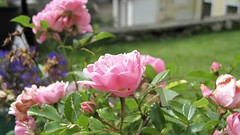 Roses garden (aboutcorsets) Tags: roses rose fiori flowers macro primopiano colorful pink