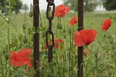 DSC_0295 (Frie Van Grunderbeeck) Tags: belgium belgi vlaanderen vlaamsbrabant hageland outdoor landscape landschap lente spring voorjaar binkom lubbeek poppy klaproos papaver hek fence locked out bloem flower