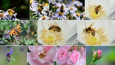 Macro Collage by Amberinsea Photography (Amberinsea Photography) Tags: flowers bees flowerfly macro macrophotography butterfly apis roses flower beautiful amberinseaphotography