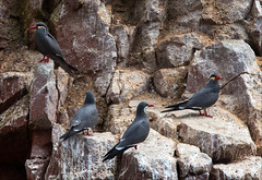 Inca Tern (kate willmer) Tags: bird seabirds tern incatern rocks ballestas island peru