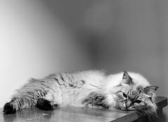 Vienna the cat relaxing (markorsr) Tags: blackandwhite bw kodakttrix400 m645 mamiya mamiyam645 mediumformat trix monochrome vienna cat negativespace animal
