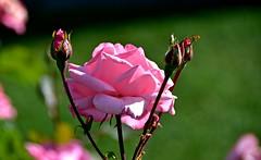 Douceur de la rose (Diegojack) Tags: nikon nikonpassion d7200 morges fleurs roses lumière quais